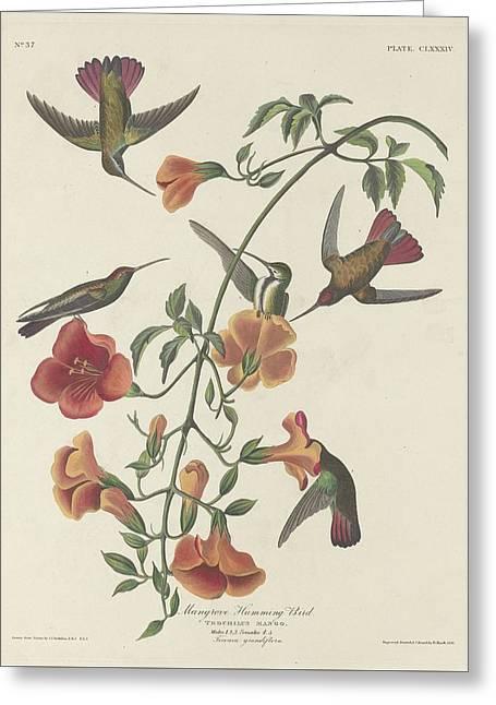 Mangrove Hummingbird Greeting Card by Rob Dreyer