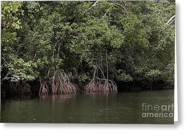 Mangrove Tree In Orinoco Delta Greeting Card by Gerard Lacz