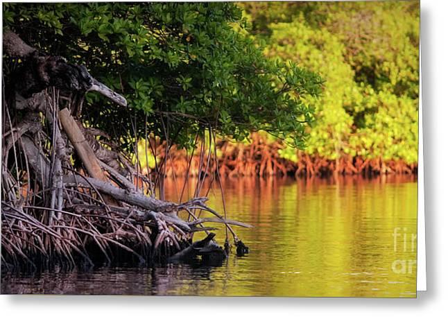 Mangroves Of Roatan Greeting Card by Doug Sturgess