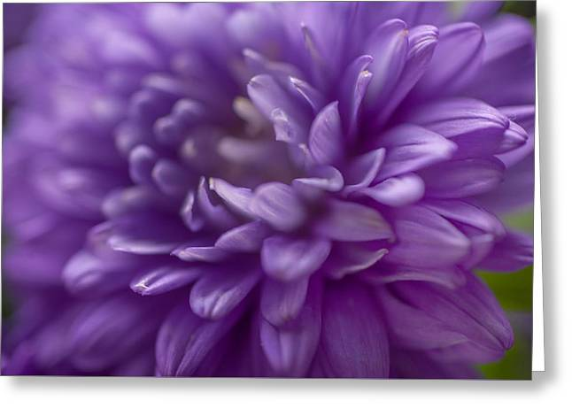 Manifique. Aster Macro Greeting Card by Jenny Rainbow