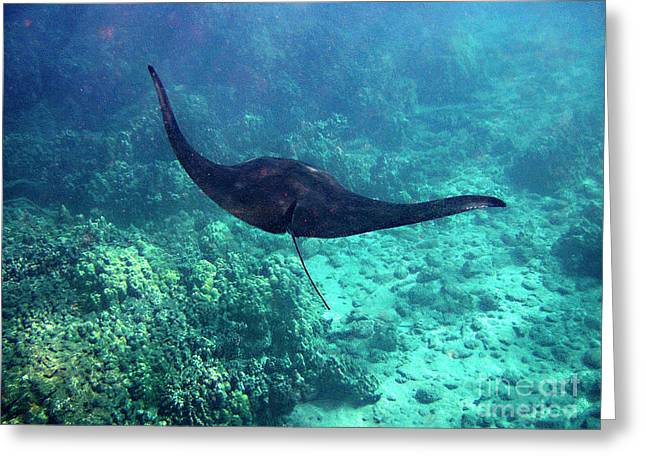 Greeting Card featuring the photograph Manta Ray In Flight by Bette Phelan