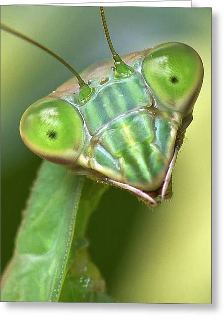 Mantodea Greeting Cards - Mantis Hello Greeting Card by Alan Raasch