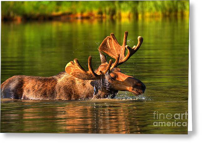 Many Glacier Moose In The Morning Greeting Card
