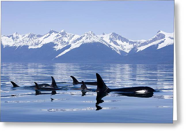 Many Orca Whales Greeting Card by John Hyde - Printscapes