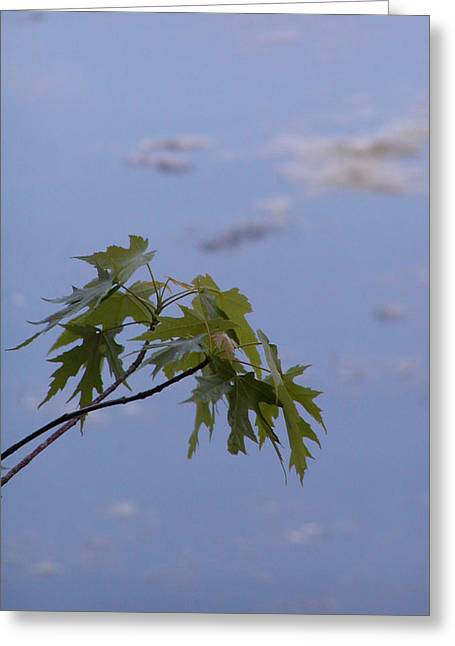 Maple Against Reflected Sky Greeting Card by Randy Muir