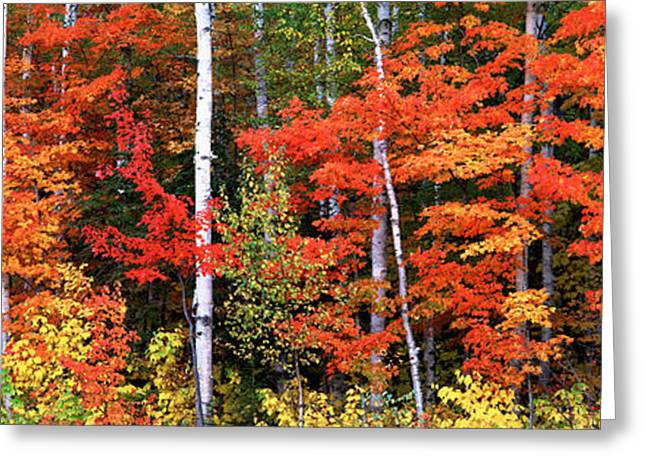 Fall Colors Greeting Cards - Maple And Birch Trees In A Forest Greeting Card by Panoramic Images