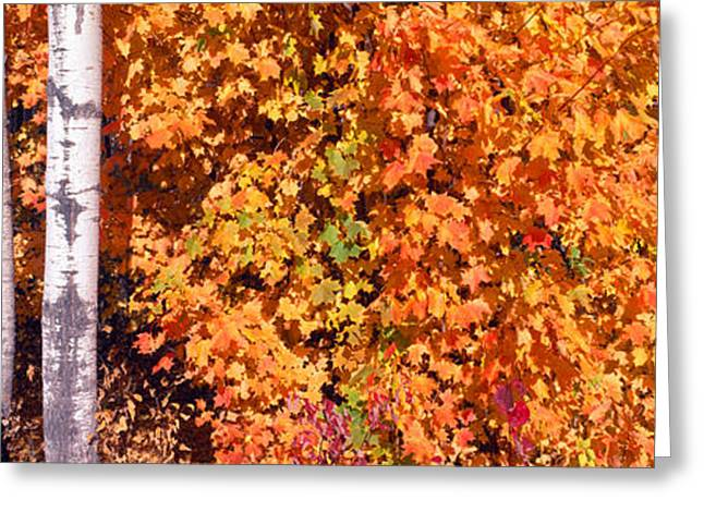 Maple And Birch Trees Near Baywood Greeting Card by Panoramic Images