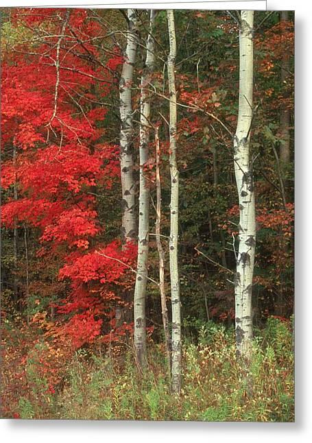 Maple And The Birch Greeting Card by Raju Alagawadi