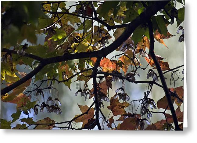 Maple Color Greeting Card by Ross Powell