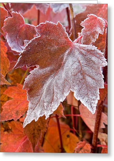 Greeting Card featuring the photograph Maple Frost  by Doug Gibbons