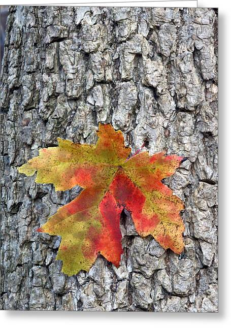 Maple Leaf On A Maple Tree Greeting Card by Andreas Freund