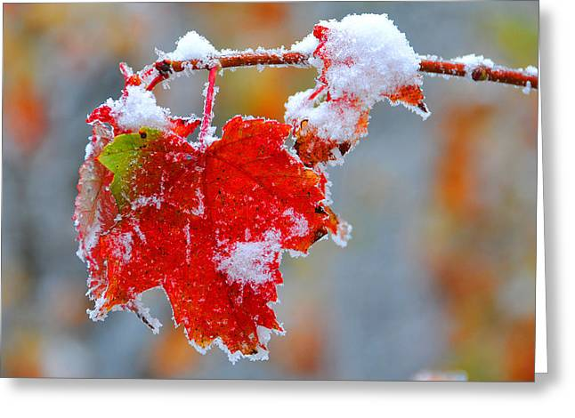 Maple Leaf With Snow Greeting Card by Alan Lenk