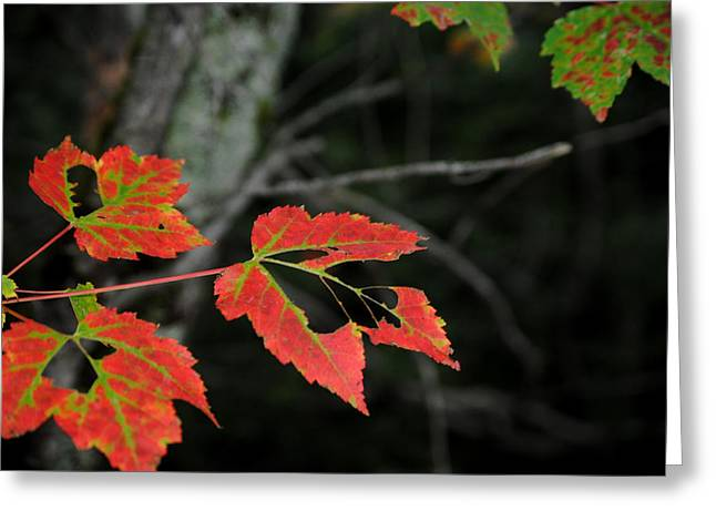 Maple Leaves Greeting Card by Steven Scott