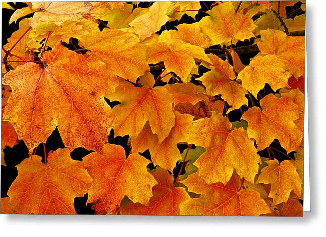 Color Tour Greeting Cards - Maple Greeting Card by Michael Peychich