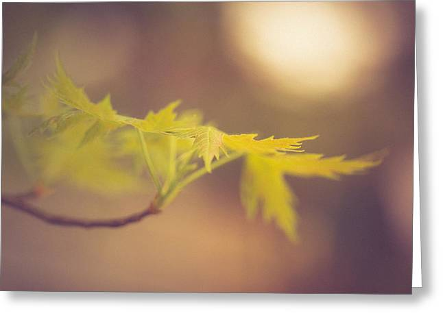 Maple Sunset Greeting Card by Shane Holsclaw