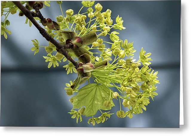 Maple Tree Flowers 2 - Greeting Card
