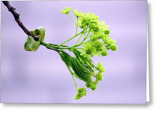 Maple Tree Flowers Greeting Card