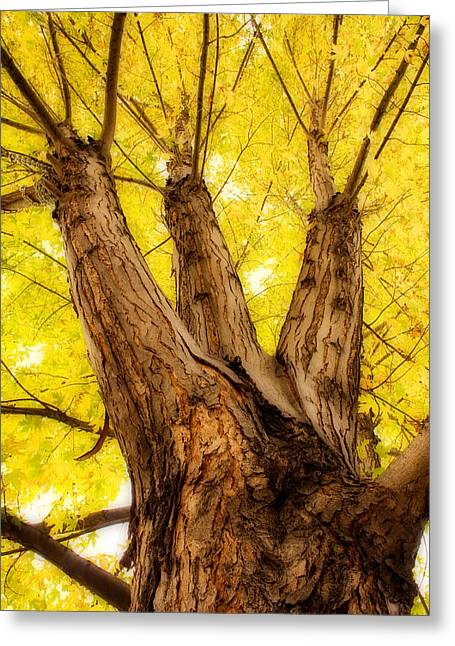Maple Tree Portrait 2 Greeting Card by James BO  Insogna
