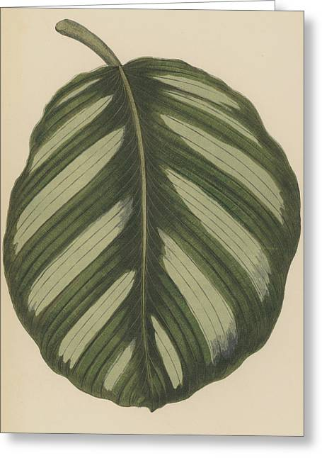 Maranta Fasciata Greeting Card