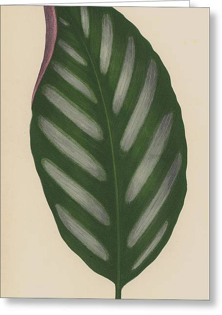Maranta Porteana Greeting Card by English School