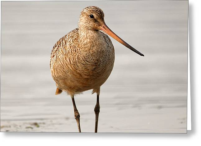 Marbled Godwit - Beauty Greeting Card