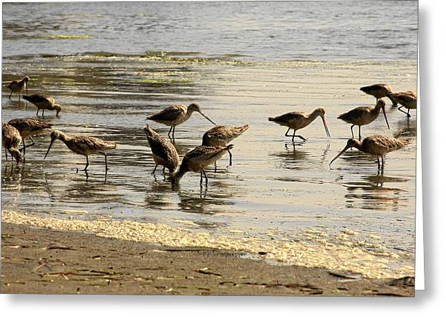 Big Sur California Greeting Cards - Marbled Godwit birds at Sunset Greeting Card by Christine Till