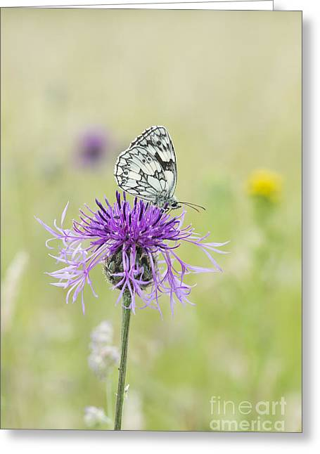 Marbled White Butterfly Greeting Card by Tim Gainey
