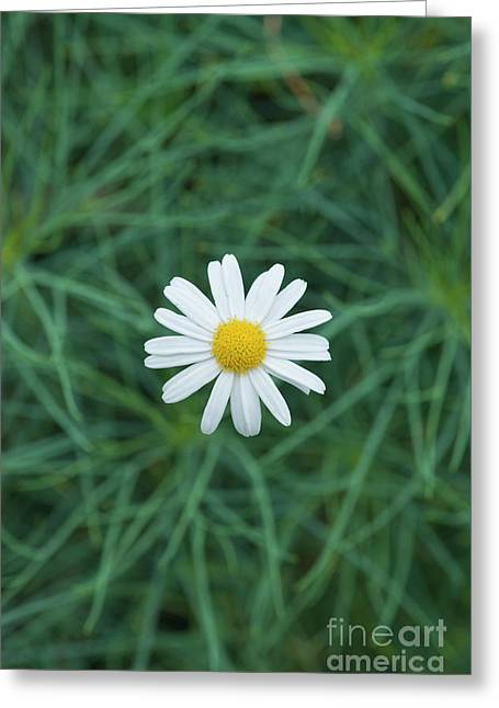 Marguerite Chelsea Girl Flower Greeting Card by Tim Gainey