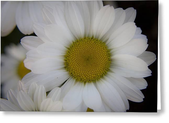 Marguerite Daisies Greeting Card by Teresa Mucha