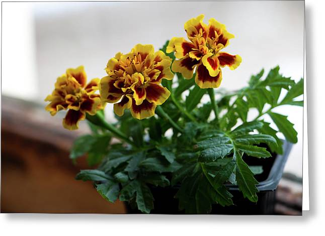 Marigold In Winter Greeting Card by Jeff Severson