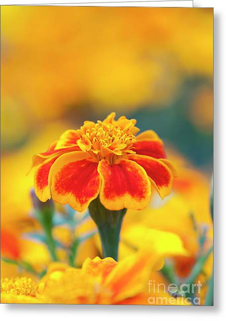 Marigold Zenith Greeting Card by Tim Gainey