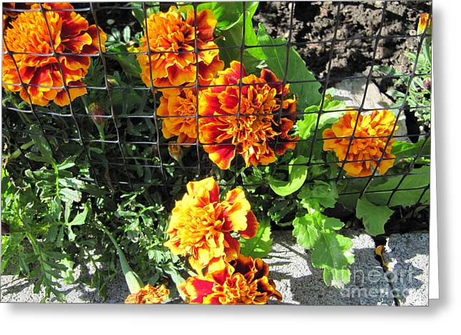 Marigolds In Prison Greeting Card