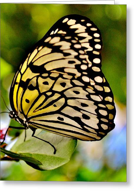 Mariposa Butterfly Greeting Card