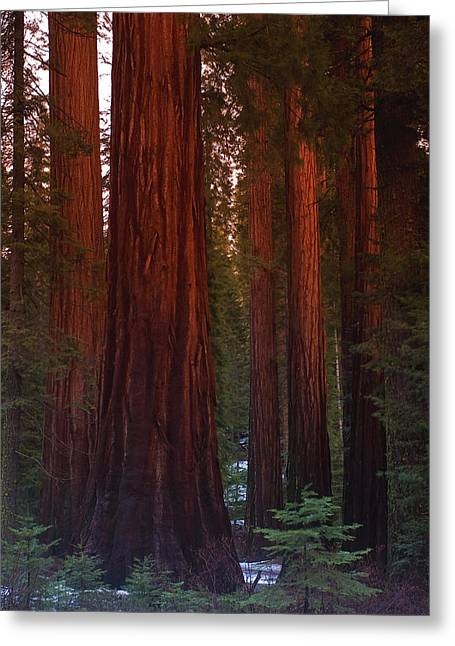 Mariposa Grove Before Sunset Greeting Card by Jim Dohms