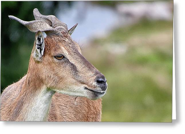 Markhor Greeting Card