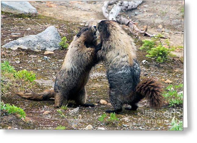 Marmot Battle Greeting Card