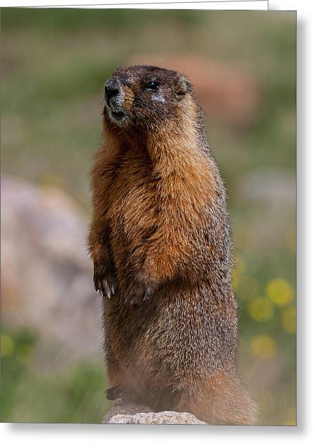 Greeting Card featuring the photograph Marmot by Gary Lengyel