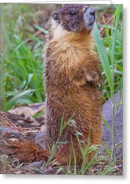 Marmot Love Greeting Card by Naman Imagery