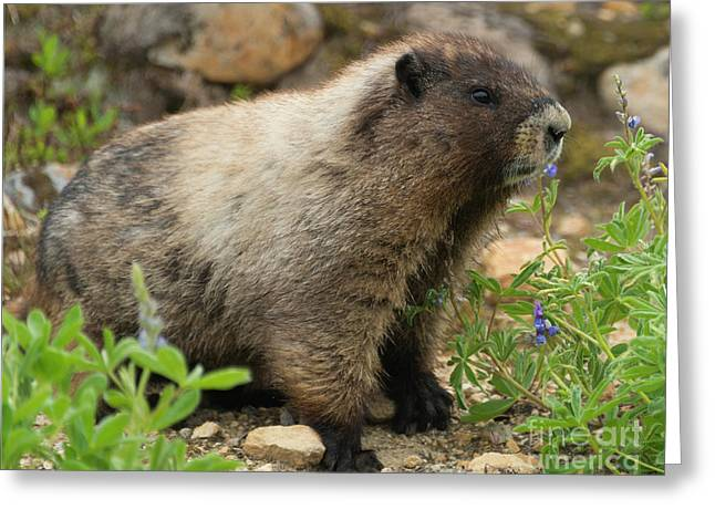 Marmot Lunch Greeting Card