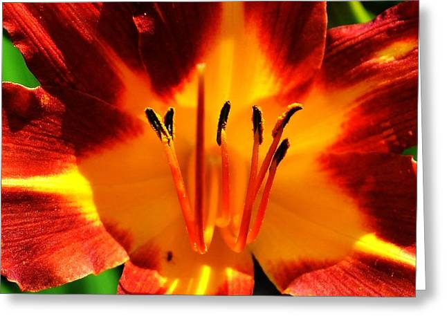 Maroon Lily Greeting Card