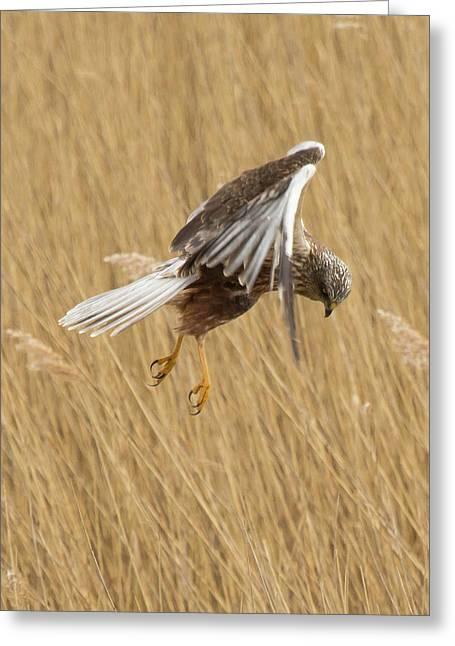 Marsh Harrier Hunting Greeting Card