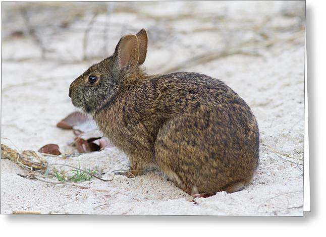Marsh Rabbit On Dune Greeting Card