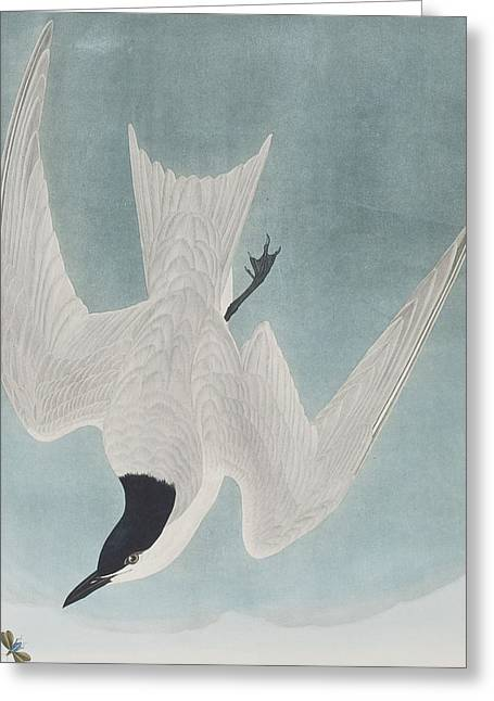 Marsh Tern Greeting Card by John James Audubon