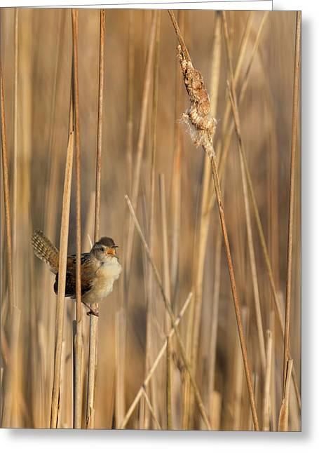 Marsh Wren Greeting Card by Bill Wakeley