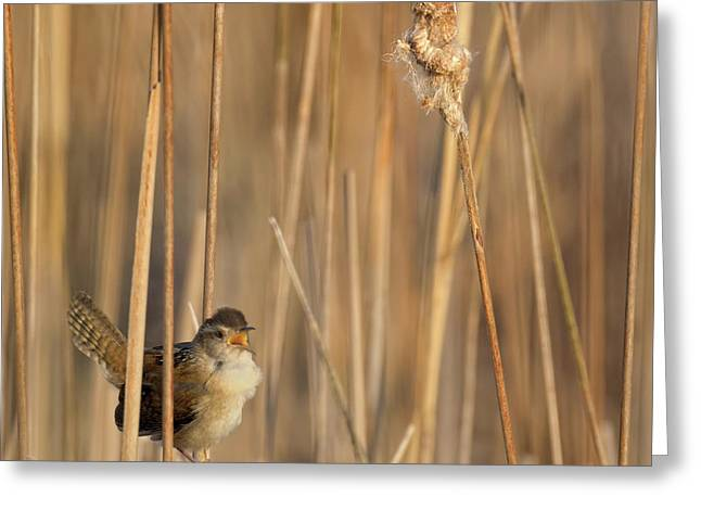 Marsh Wren Square Greeting Card by Bill Wakeley