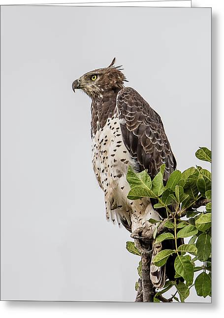 Martial Eagle Overlooking The Bush Greeting Card