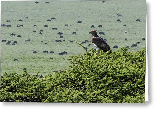 Martial Eagle Overlooking Wildebeest Grazing On The Grasslands Greeting Card