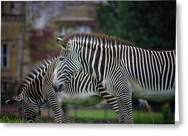 Marwell Zoo Zebras Greeting Card by Martin Newman