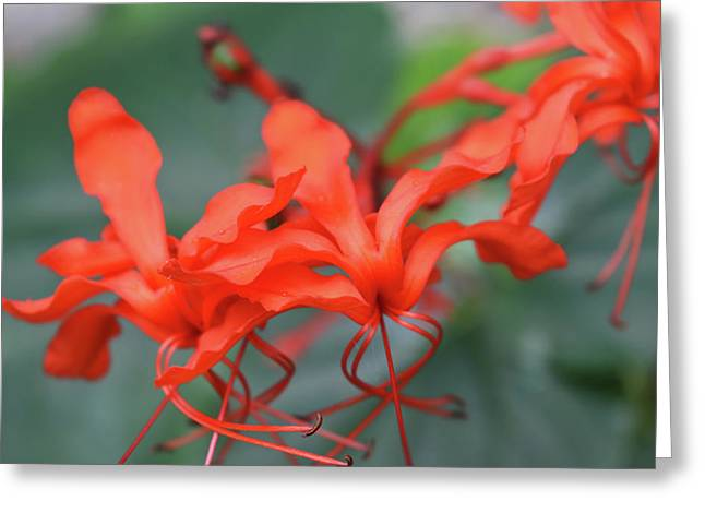 Maryjane Clerodendrum Greeting Card by Aimee L Maher Photography and Art Visit ALMGallerydotcom