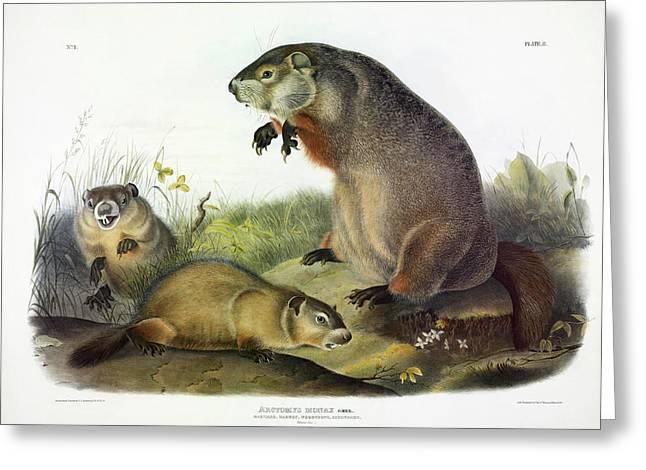 Maryland Marmot, Woodchuck, Groundhog Greeting Card
